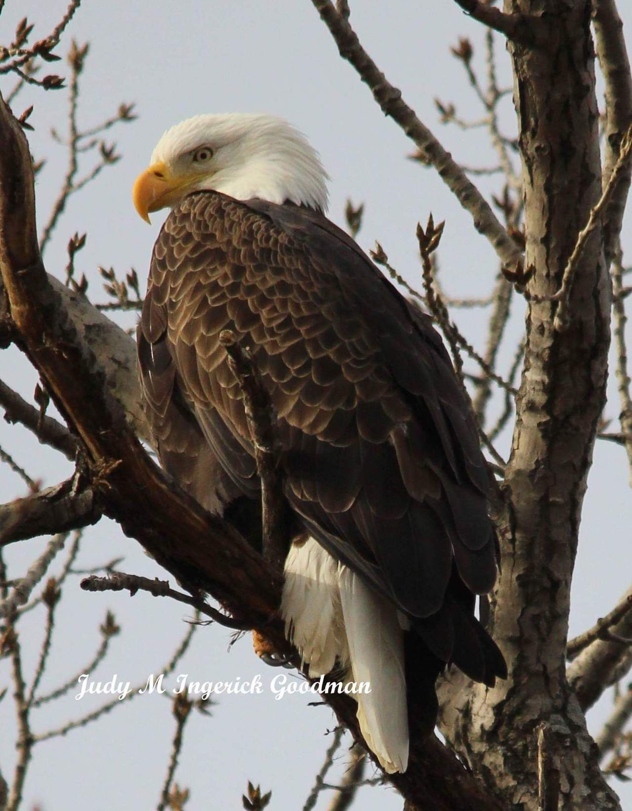Bald Eagle at Seneca Lake State Park (photo)