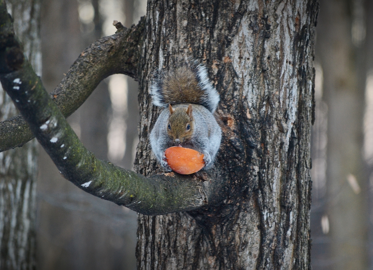Squirrel enjoying a taste of spring in Clifton Springs (photo)